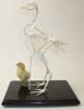 Chicken Skeleton With Chick
